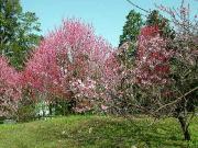 高知城 - 梅と桃の花