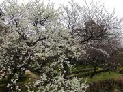 高知城 - 杏と桜