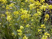 高知城 - 菜の花