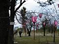桜の開花情報 - 3月22日