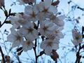 桜の開花情報 - 3月27日