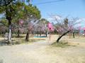 桜の開花情報 - 3月29日