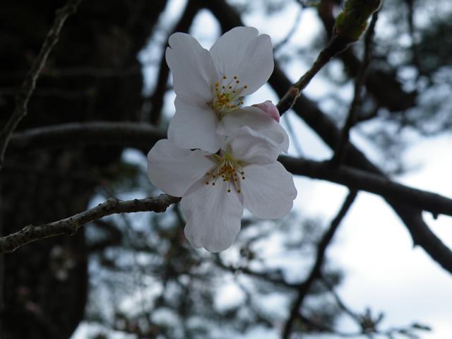 高知城-さくら開花