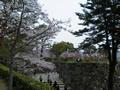桜の開花情報 - 4月3日