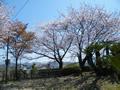 桜の開花情報 - 4月6日