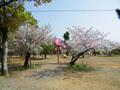 桜の開花情報 - 4月11日