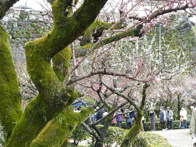 梅の枝配布