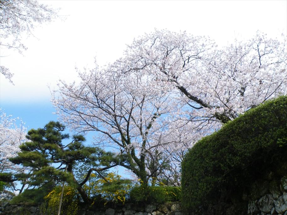 桜 二ノ丸へ