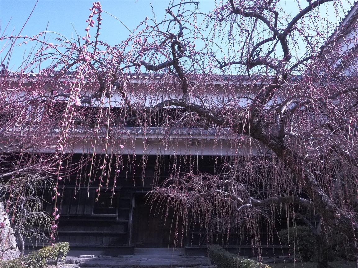 枝垂れ梅 詰門