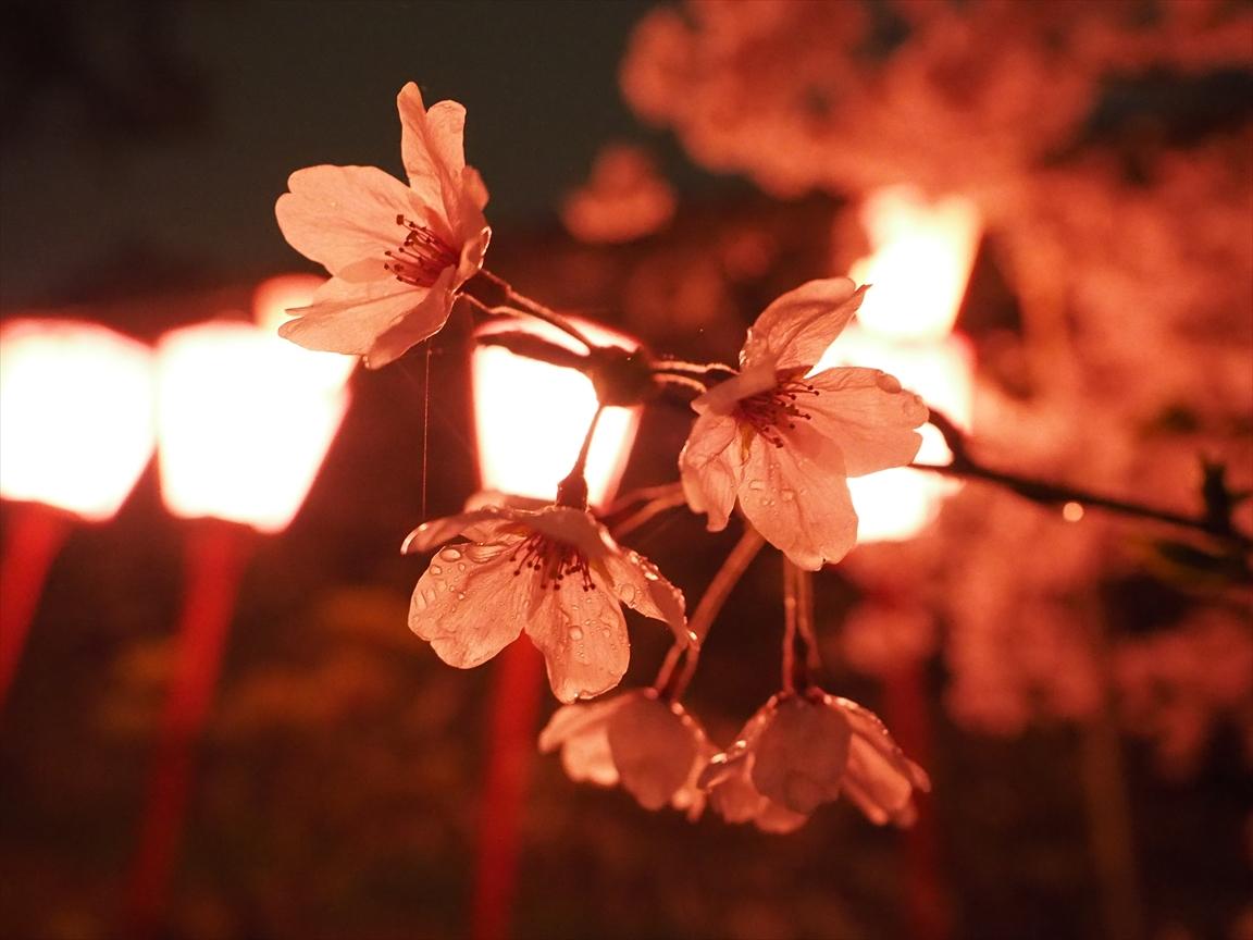 染井吉野 三ノ丸 夜桜