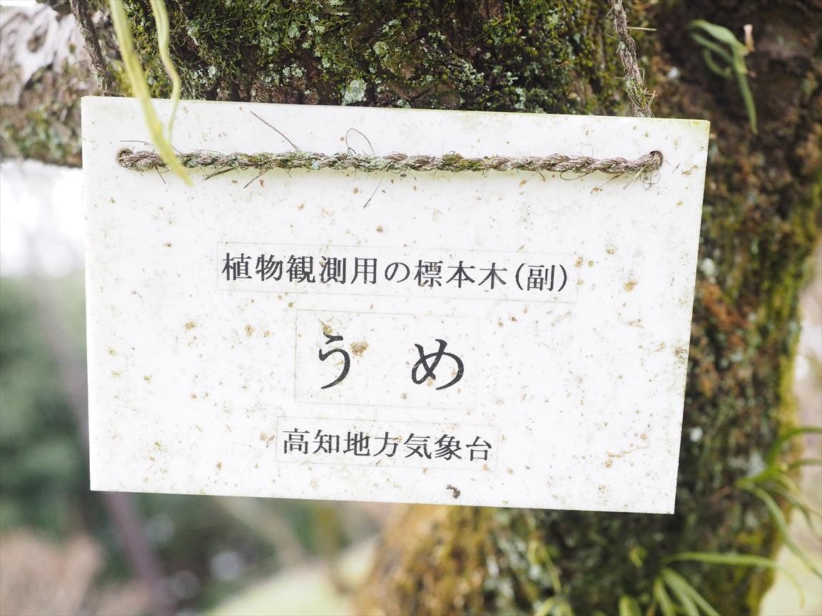 梅 標本木 梅ノ段