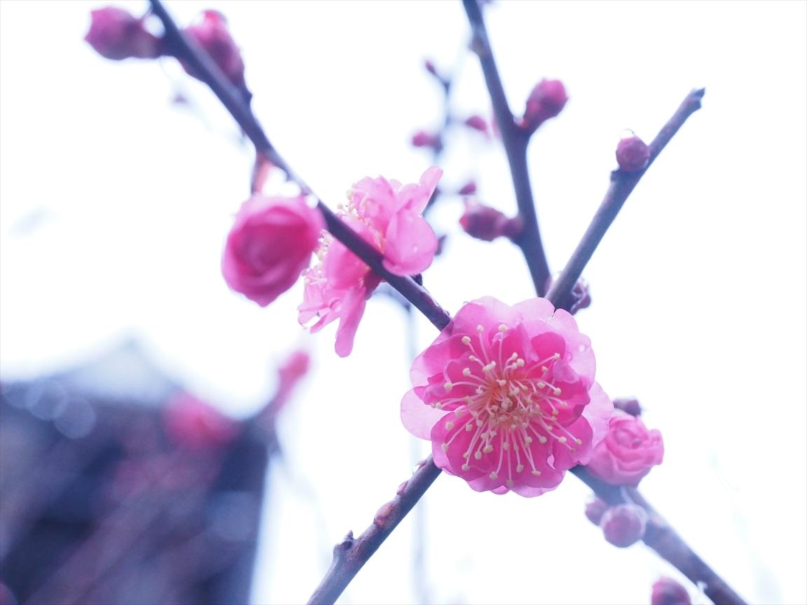 紅梅 梅ノ段