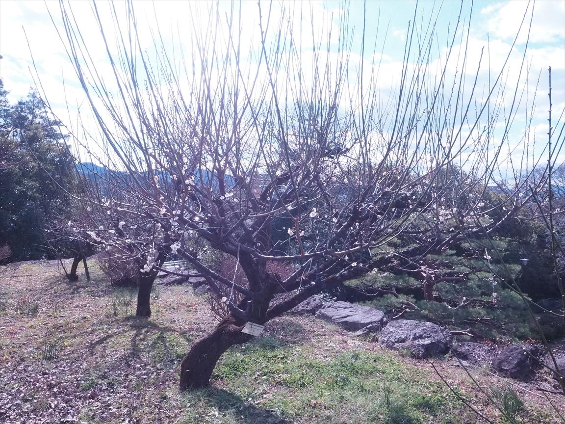 梅の副標本木です