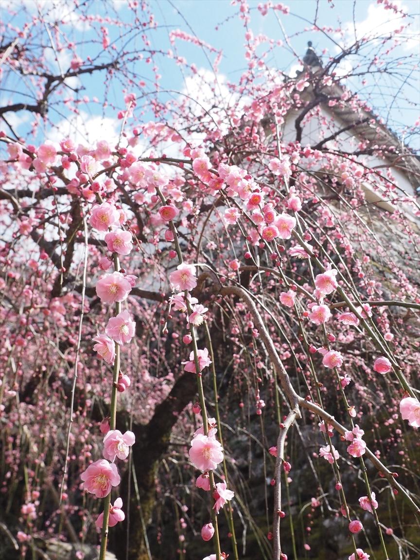 詰門前の枝垂れ梅