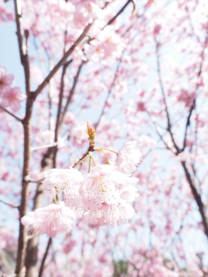 雪割桜 城西公園