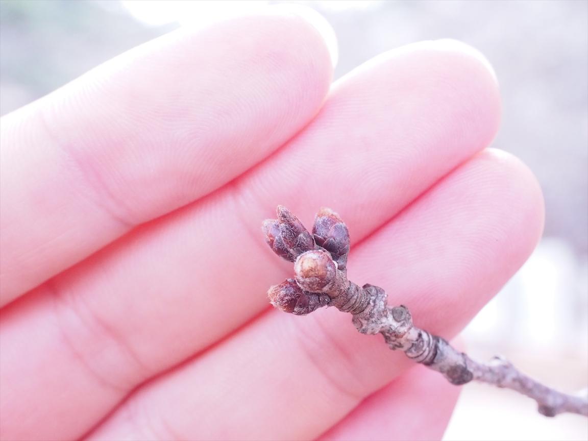 桜 標本木 三ノ丸