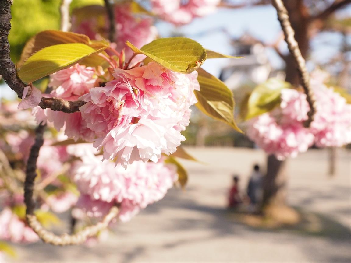牡丹桜 二ノ丸
