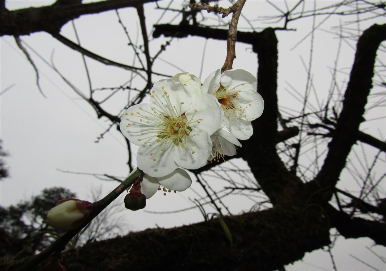 梅 標本木